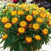 Sundaze® Flame Strawflower - Bracteantha (Xerochrysum) bracteata