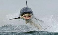 WHOAAAAA!!! That is one of the most terrifying and AWESOME pics of a breaching white shark I've EVER seen!!!! :D ~ #AirJaws #SharkAwesomeness #BreachingSharks #SharksRule