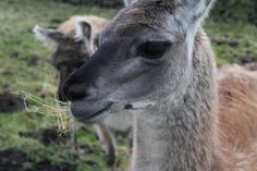 Here is a llama from Yorkshire.