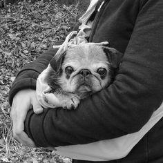 Sweet old baby. #pug