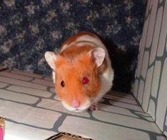 Bowie - my odd eyed hamster :)
