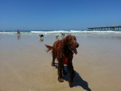 Our beautiful Irish Setter Jed, 10 years old, at The Spit, leash free dog beach, Gold Coast Queensland