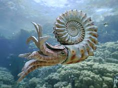 """This is a 3D reconstruction of a extinct genus called Nautiloid by Dirk Wachsmuth. Nautiloids are members of a group of invertebrate animals called cephalopods (""""head-foot""""), relatives of the familiar octopuses and squid. Cephalopods originated in the Cambrian Period 570 to 500 million years ago and nautiloids originated in the Ordovician."""