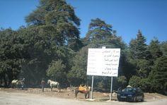 Forêt de cèdres vers Azrou