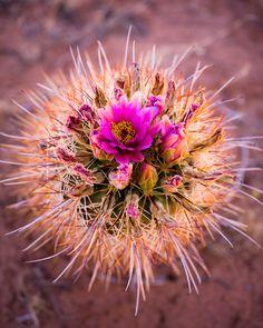 Cactus flower | Adam Schallau