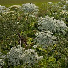 Beware giant hogweed Giant Hogweed Pinterest