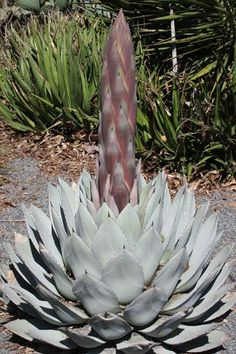 We've grown Agave parryi from all along its native range, but the best clone is still the one growing at the JC Raulston Arboretum in NC. We tracked this clone back to a plant that came from J.C.'s 19