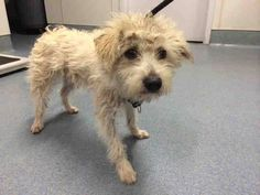 ~ Animal ID #A1642968 I am a Male, White Miniature Poodle mix. The shelter thinks I am about 2 years old. I have been at the shelter since April 01, 2015. San Diego County Department of Animal Services Southern Region - Bonita ‒ (619) 767-2675 5821 Sweetwater Road Bonita, CA https://www.facebook.com/OPCA.Shelter.Network.Alliance/photos/pb.481296865284684.-2207520000.1428740866./802102263204141/?type=3&theater