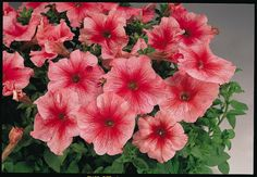 Pelleted Petunia Seeds 1000 Bulk Petunia Seeds by nurseryseeds