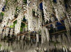 Curtain of white wisteria