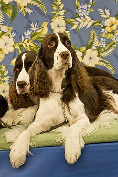 English Springer Spaniel dog art portraits, photographs, information and just plain fun. Also see how artist Kline draws his dog art from only words at drawDOGS.com #drawDOGS http://drawdogs.com/product/dog-art/english-springer-spaniel-dog-portrait-by-stephen-kline/