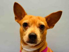 DA BEARS - A1051018 - - Manhattan  TO BE DESTROYED 09/17/15  ** EXPERIENCE NO SMALL CHILDREN SAFER RATING. Da Bears is quite a special name and no doubt a unique little dog. Chihuahua mixes always drum to their own beat. Da Bears is a smart and cautious seventeen pound dog, he arrived as a stray at the ACC of NYC. He is already neutered and only three years old. His SAFER results list him as best for an experienced home with no small children. Overall he did well, just a li
