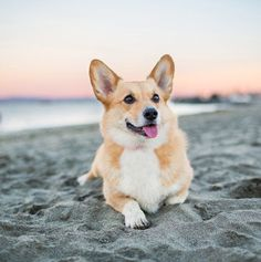 Enjoy Your Dog By Using These Tips – Pets, Dogs, Cats Caring Tips and Pictures Most Popular Dog Breeds, Best Dog Breeds, Best Dogs, Cute Dogs Breeds, Puppy Breeds, Corgi Gif, Welsh Corgi Pembroke, Dog Beach, Medium Dogs