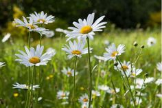 Drifts of Ox-Eye Daisy in wildflower meadow  at RHS Garden Rosemoor, Devon