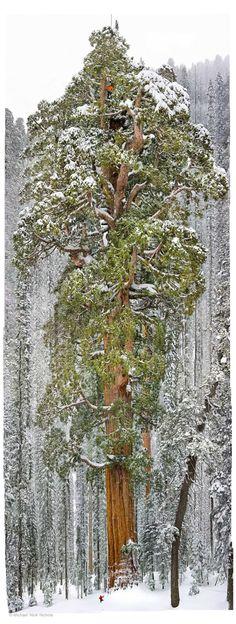 Cet arbre vieux de 3200 ans est tellement grand qu'il n'avait jamais été pris en photo en entier jusqu'à présent