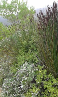 Photographed in Franschhoek in September - Elegia tectorum, Eriocephalus and rhus crenata with Dodonea angustifolia in the background Tropical Landscaping, Landscaping With Rocks, Landscaping Tips, Front Yard Landscaping, Coastal Gardens, White Gardens, Landscape Design, Garden Design, Garden In The Woods