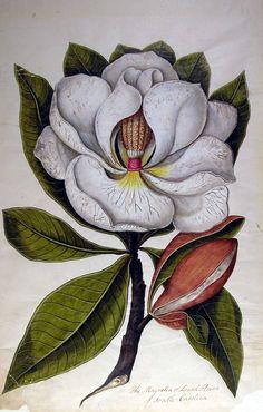 Google Image Result for http://library.sc.edu/spcoll/nathist/ravenel/images/magnolia.jpg