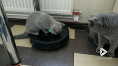 Cat on a Roomba