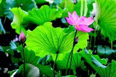 Lotus flower, buds, and leaves Peter Yishan photo Lotus Flower, Flower Art, Buddhist Traditions, Lotus Leaves, Pretty Flowers, Roots, Plants, Diuretic, Hangzhou