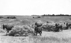 The mules are put to sweep rakes, also called bull rakes, to bring straw to the stationary baler seen in the upper left of the photo. Courtesy: Rural Heritage. Cedar Rapids, IA (USA)