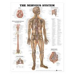 Medical chart female spine charts and female nervous system charts nervous system anatomical chart nerves anatomy poster ccuart Images