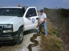 Florida's greatest python slayer is a great-grandpa with a shotgun. Bobby Hill, 61, has killed 300 of the big snakes in nine years. He shows off a 16.5-footer he caught on the L-67 extension levee in western Miami-Dade County while working for the South Florida Water Management District.