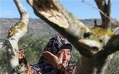 Israeli forces uproot 120 olive trees near Salfit
