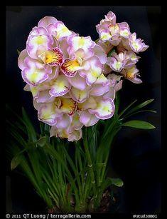 Cymbidium Lucky Gloria 'Tri Lip'. A hybrid orchid (color)