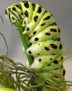 Otakárek fenyklový-Papilio machaon