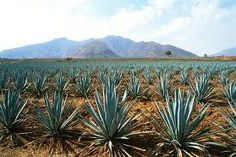 Agave from Tequila, Jalisco