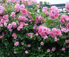 Climbing Roses pink ╕jb 013