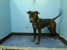 BUDDY is an adoptable Pit Bull Terrier Dog in New York, NY.  ...