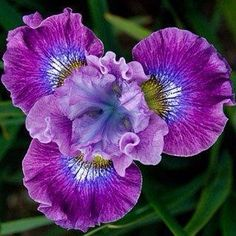 Nature's great colors, shades, textures and layers in an Iris.