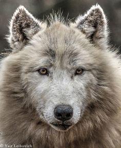 'POLAR WOLF PORTRAIT' by Yair Leibovich
