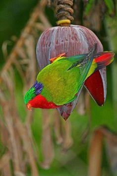 Rimatara Lorikeet (Vini kuhlii) Adult feeding on nectar from banana flower Rare Birds, Exotic Birds, Exotic Pets, Colorful Parrots, Colorful Birds, Colorful Feathers, Banana Flower, Flightless Bird, In Natura