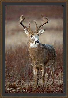 Whitetail Deer Photos, by Eric Dresser
