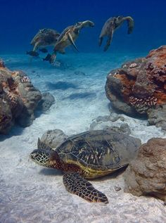 Sea Turtles. Photo by bluewavechris