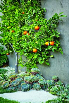Tangerine tree espaliered into an informal shape surrounded by hen and chicks at its base. Design by Scott Shrader. Photo: Mark Adams