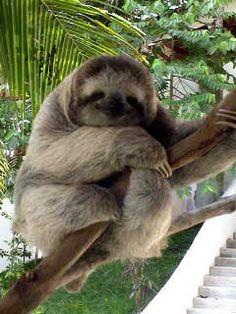 Es un sloth, son muy popular a ver en Costa Rica. Está en Quepos, Costa Rica Se puede mucho sloths en Costa Rica