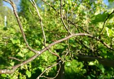 How can there be crispy branches in my redcurrant bush despite all caretaking?