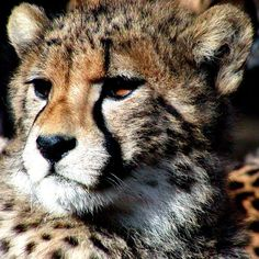 Cheetah (ghepardo)