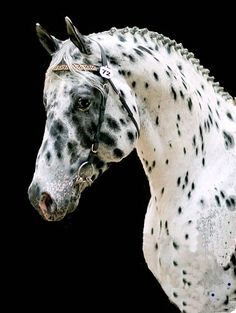 Appaloosa Friesian cross. What a beauty.