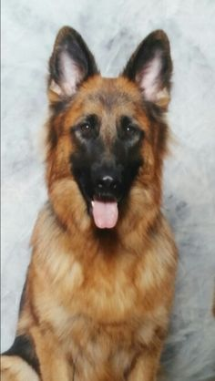 Cassie. German Shepard Dog