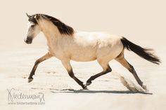 Mangalarga Marchador - Horse Photography, , Photography Bettina Niedermayr .