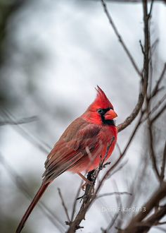 Winter Snow & Male Cardinal