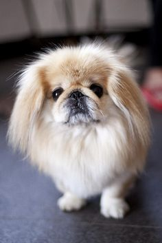 The planet Earth is filled with Cute dogs, here is a selection of the cutest dog breeds from around the world. Yorkies, Pekingese Puppies, Cute Dogs Breeds, Small Dog Breeds, Small Dogs, Fu Dog, Dog Cat, Beautiful Dogs, Animals Beautiful