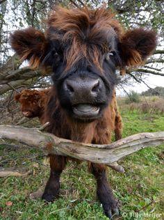 Highland Calf, originated in Scotland. Look at that adorable 'mug'