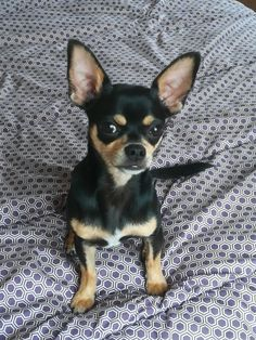 Rocky American Dog, Pet Treats, Chihuahua, Boston Terrier, Dog Breeds, Pets, Animals, Boston Terriers, Animales