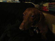 The Contented Dachshund: Wordless Wednesday One Month With Bella and Fred