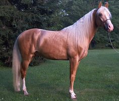 Gold Champagne - chestnut horse diluted with champagne gene (often mistaken for palomino). Mane and tail can be flaxen.  (Whispering Pine Walkers)